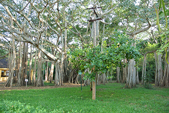 A Bayan Tree